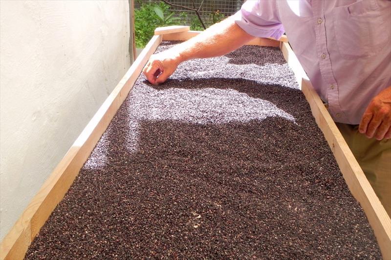 cultivo de cochinilla